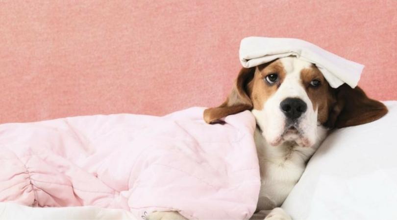 измерить температуру собаке в домашних условиях