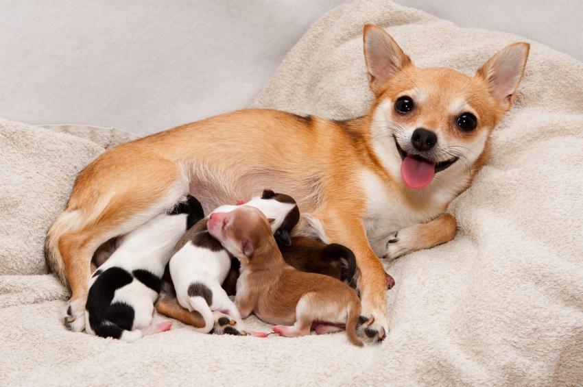 сколько длятся роды у собаки