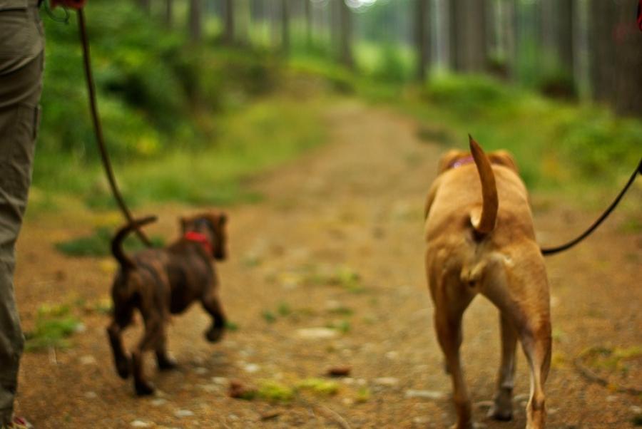 приучить щенка к ошейнику