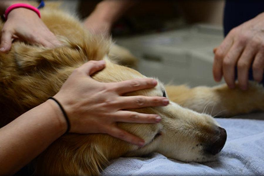 как усыпить собаку лидокаином