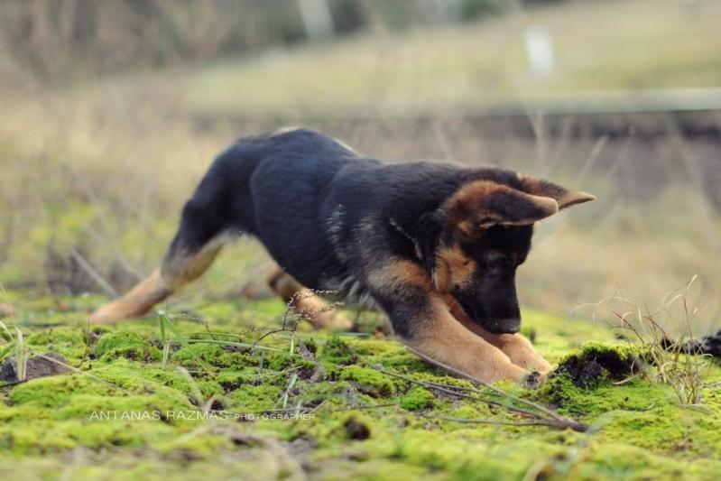 правильно выбрать щенка немецкой овчарки