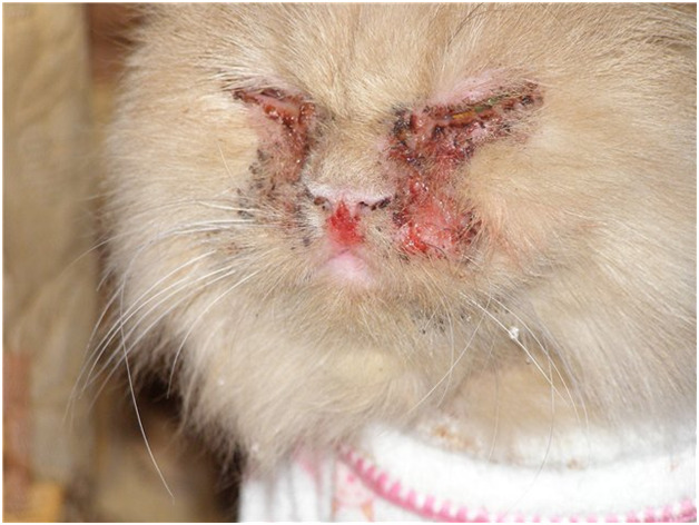 кальцивироз у кошек опасен ли для людей