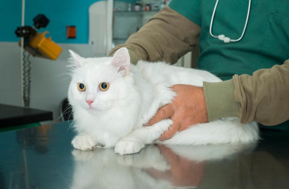 непроходимость кишечника у кошек симптомы