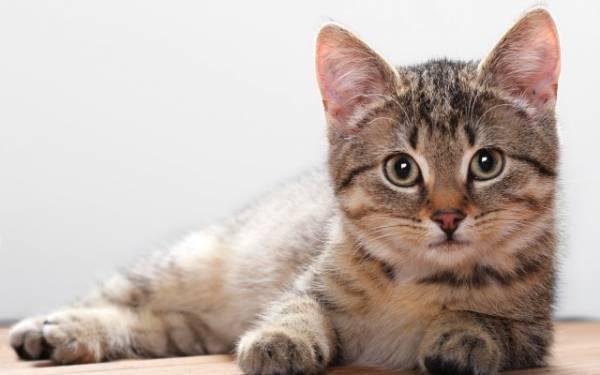 атония кишечника у кошки