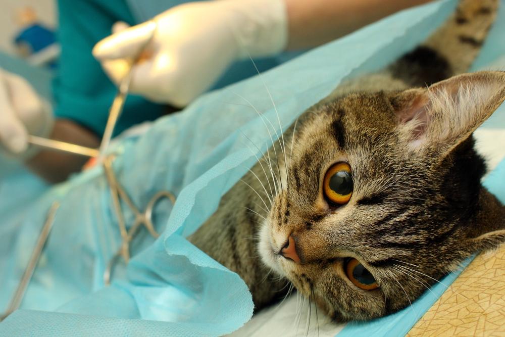 когда можно стерилизовать кошку после родов