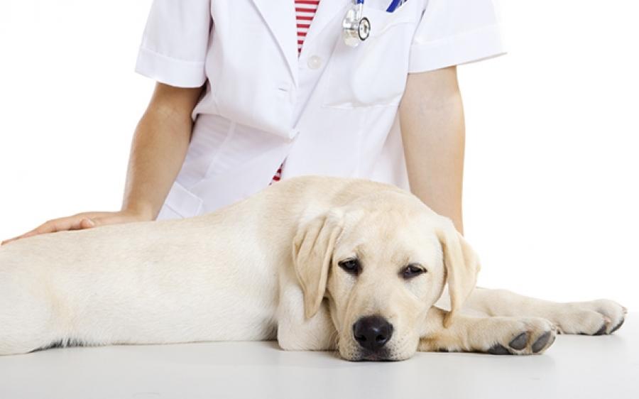 в каком возрасте можно стерилизовать собаку девочку