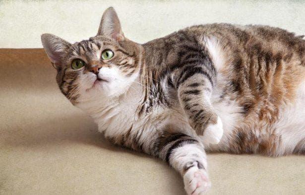 короновирусный энтерит у кошек