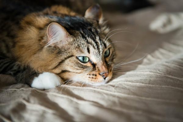 коронавирус у кошек симптомы и лечение