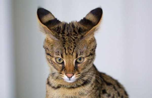 кот чешет уши до крови