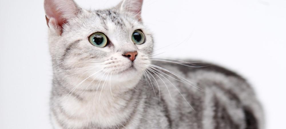 кашель у кошек симптомы и лечение