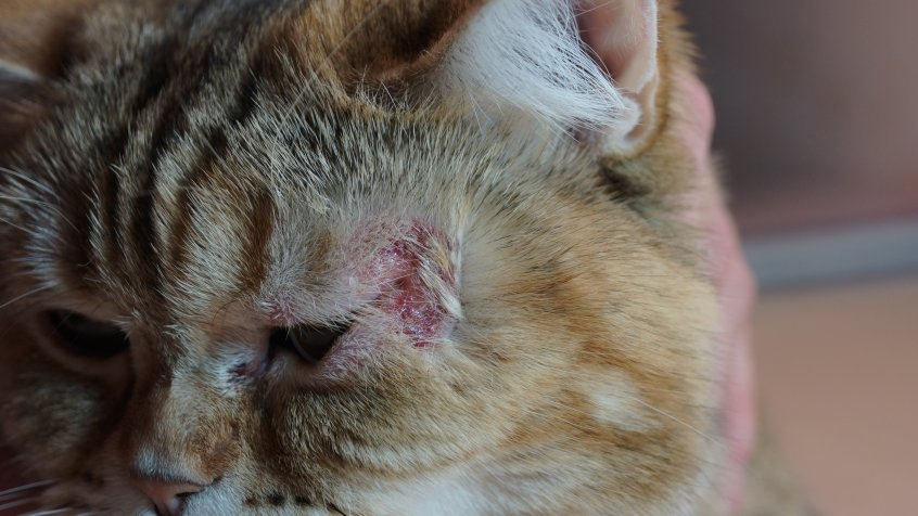 коросты на коже у кошки