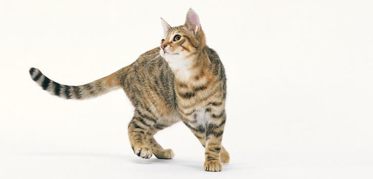 струпья на коже у кошки