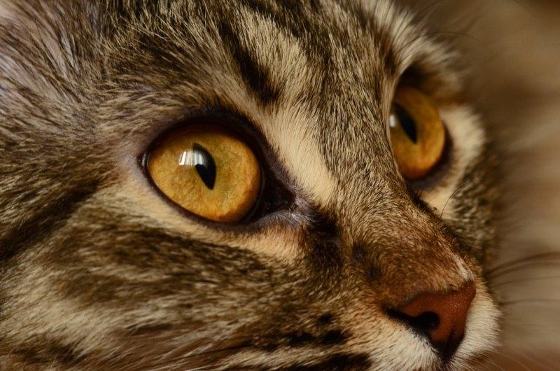легочные глисты у кошек лечение