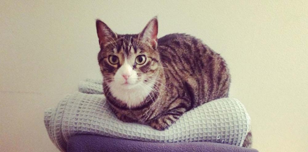 лейкоз у кошек симптомы и лечение