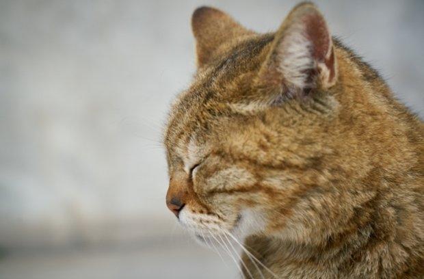кошачий лейкоз