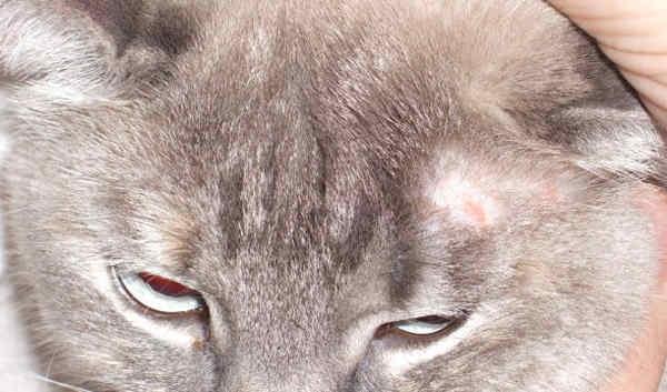 инкубационный период лишая у человека от кошки