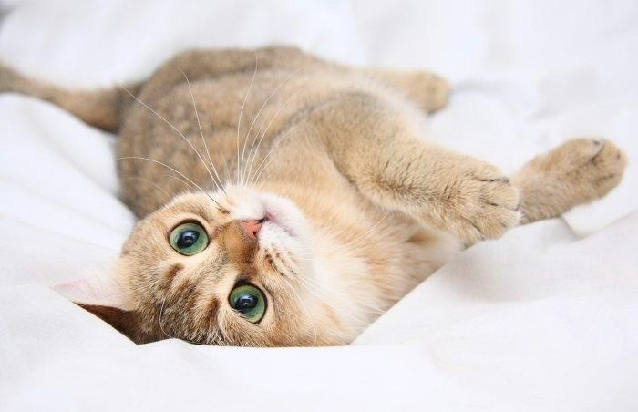 ложная беременность у кошек