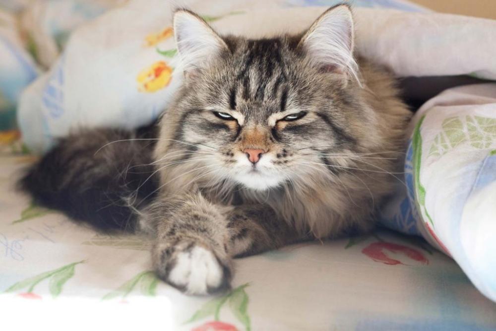 лямблиоз у кошек симптомы