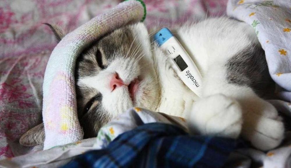 марена красильная для лечения котов