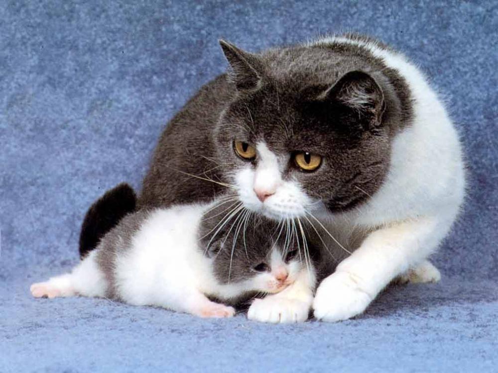 мастит у кошки лечение в домашних условиях