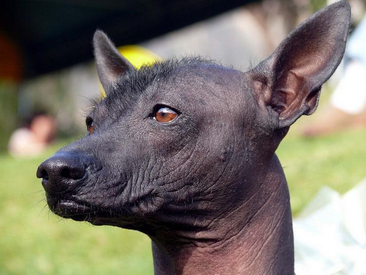 лысая собака порода