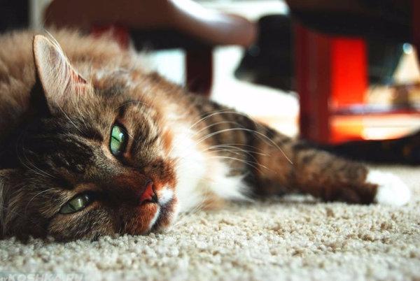 микоплазмоз у кошек опасность для человека