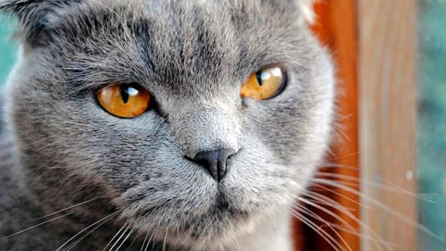 микоплазма у кошек