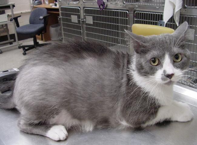 лечение микроспории у кошек в домашних условиях