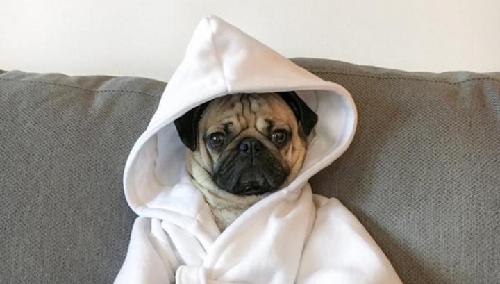сколько стоит мопс щенок