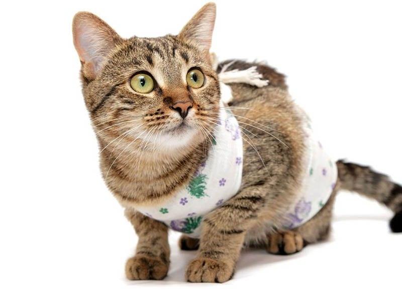 можно ли стерилизовать кошку во время течки