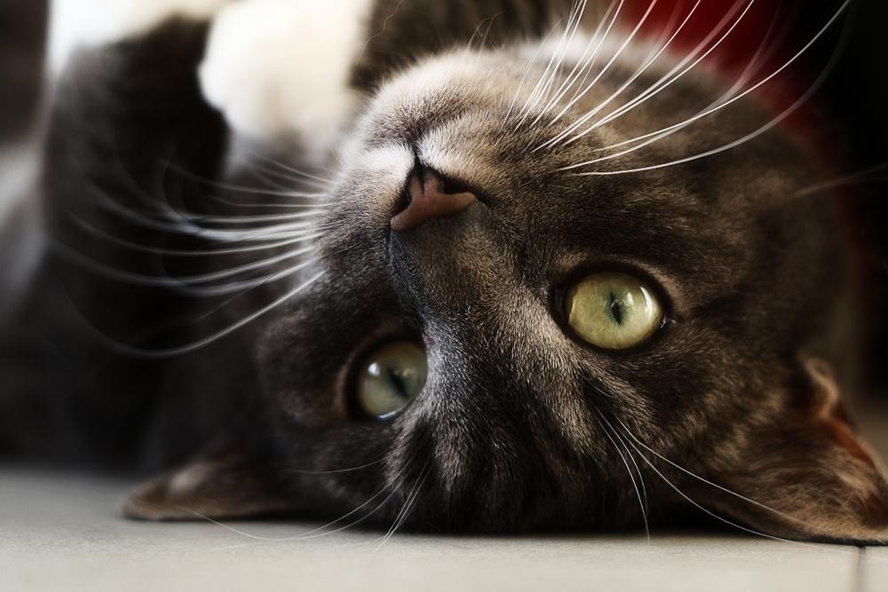 стерилизация кошек во время течки