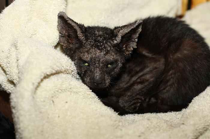 нотоэдроз у кошек симптомы фото и лечение
