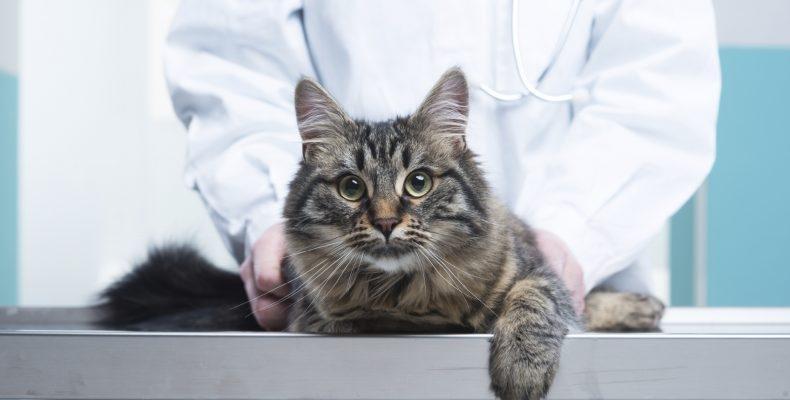 огуречный цепень у кошек фото