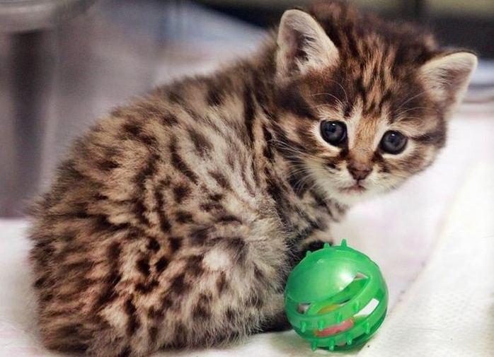 дипилидиоз у кошек