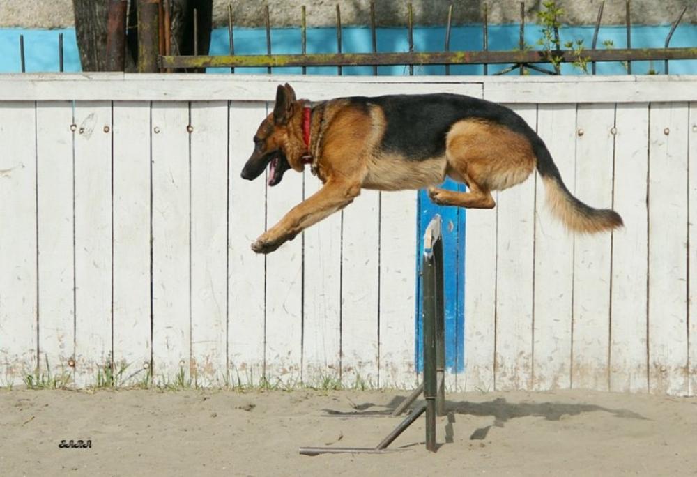 что такое окд для собак