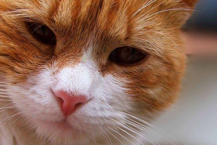 рак груди у кошек
