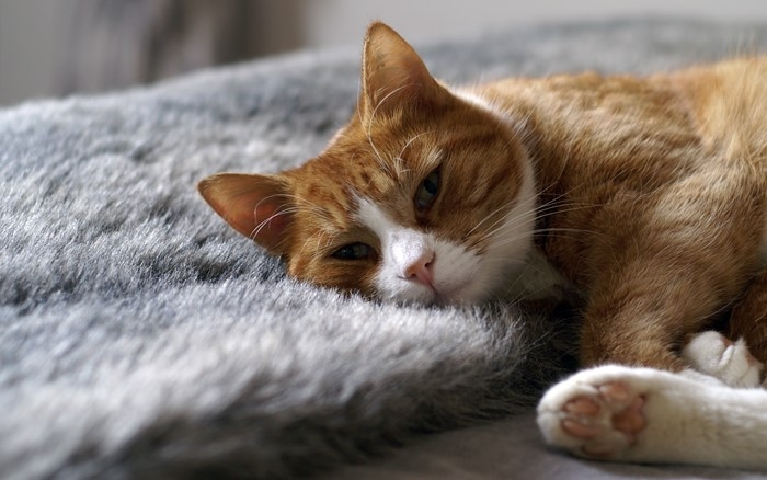 отек легких у кошек лечение