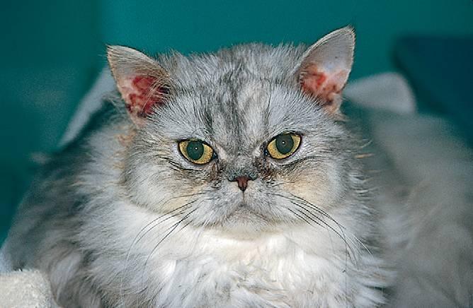 отит у кошек симптомы и лечение фото