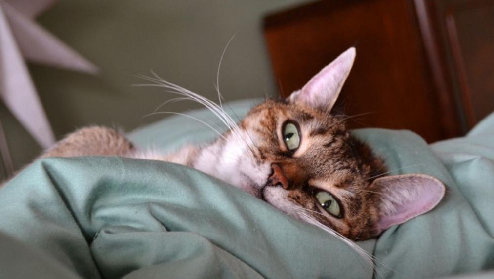 воспаление уха у кошек