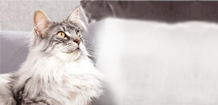 отодектоз у кошек симптомы