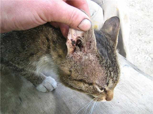 отодектоз у кошек лечение
