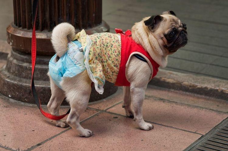 памперсы для собак девочек при течке