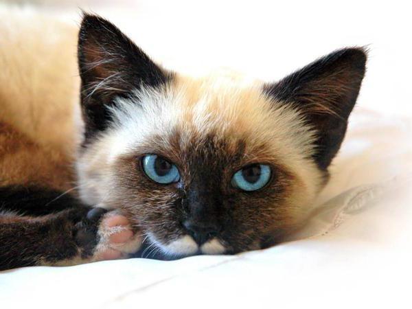 признаки панкреатита у кошек