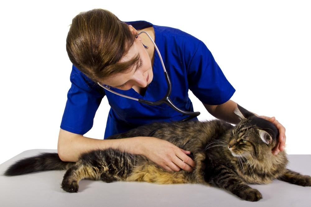 чистка параанальных желез у кошек