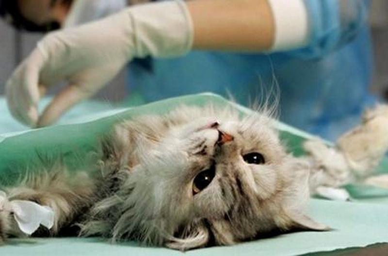 пиометра у кошки операция