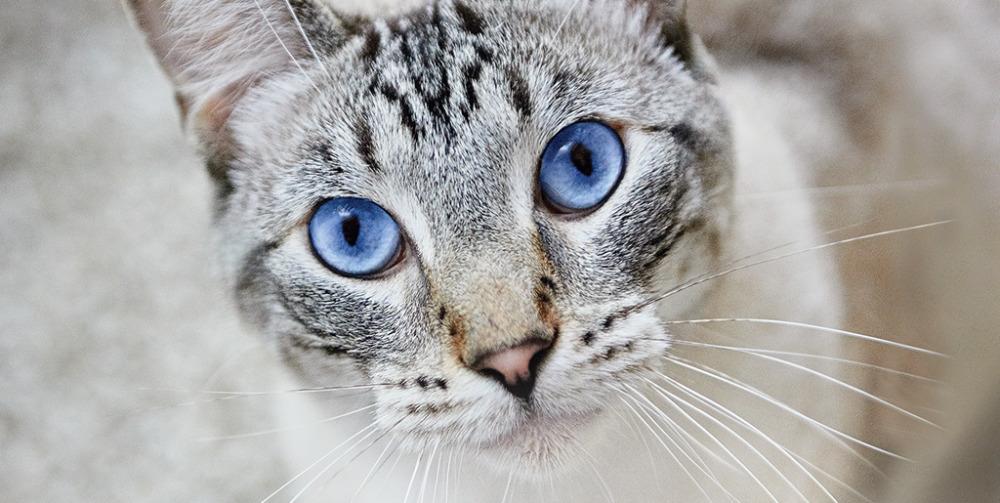 пневмония у кошек
