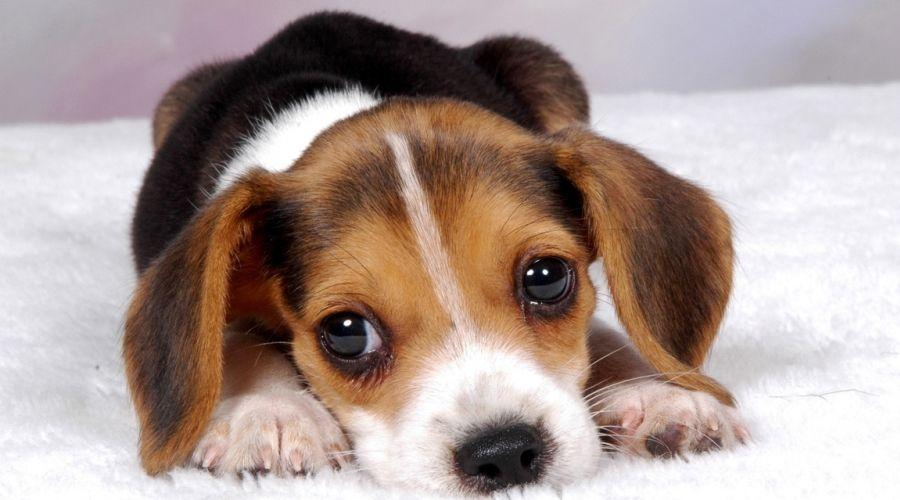собака икает причины