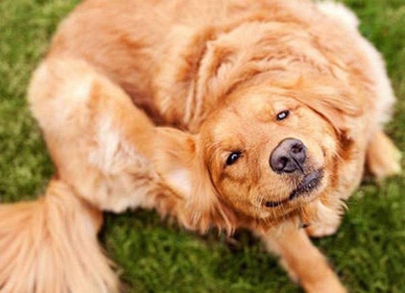 собака постоянно чешется и грызет себя