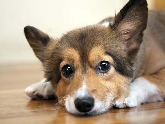 собака трясется и тяжело дышит