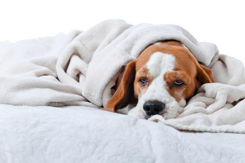 дрожь у собаки причины
